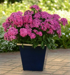 Dianthus, Interspecific Jolt Pink