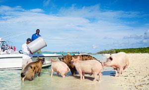 Locals-feeding-Exuma-feral-pigs