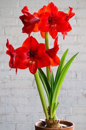 Amaryllis-'Red-RIval'