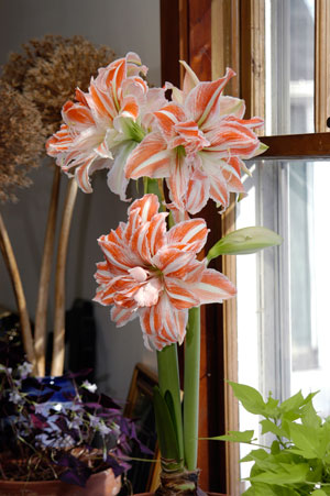 Double-Amaryllis-'Dancing-Queen'